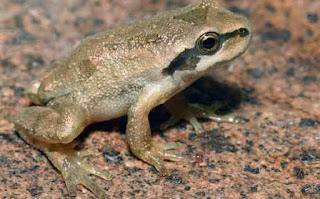 मेंढक पर जानकारी ▷ some facts about frog in hindi