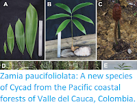 https://sciencythoughts.blogspot.com/2019/01/zamia-paucifoliolata-new-species-of.html