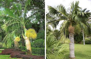 ประโยชน์ของพืชวงศ์ปาล์ม ไม้ผล ไม้ประดับ