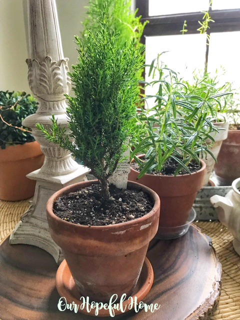 mini juniper plant rosemary herb clay pot terra cotta houseplant