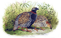 Black Francolin pair, painting by Edward Neale, Dec. 1879