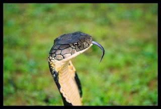 Snake in cunt