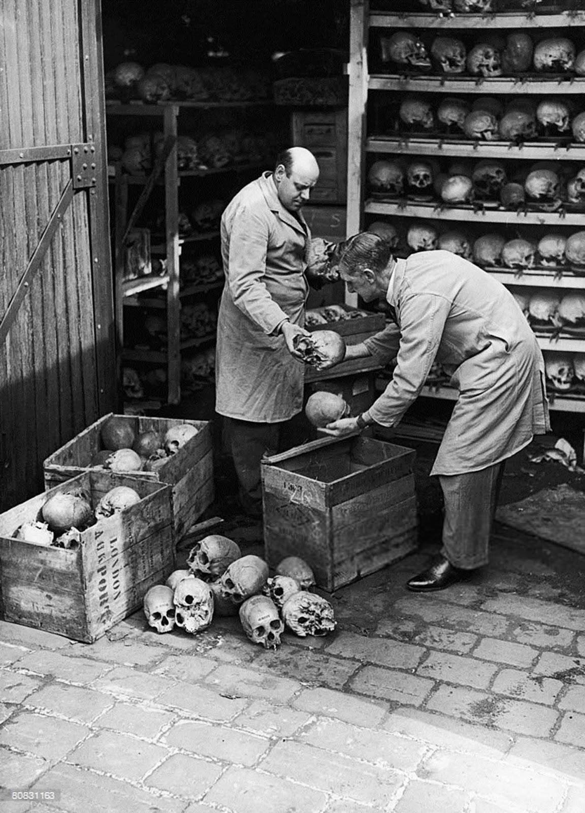 Unpacking human skulls, 1948.