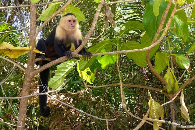 White-headed capuchin - Cebus capucinus
