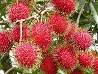 Tips Mudah Mencangkok Pohon Rambutan dengan Baik dan Benar