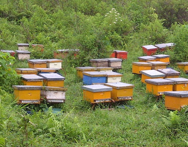 beekeeping, apiculture, bee farming, commercial bee farming, bee farming business, how to start bee farming