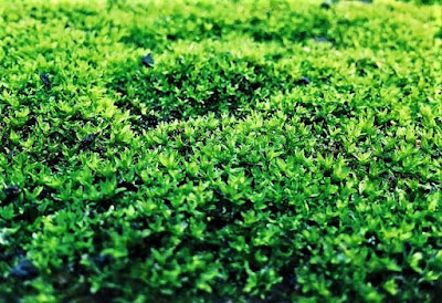 lumut daun