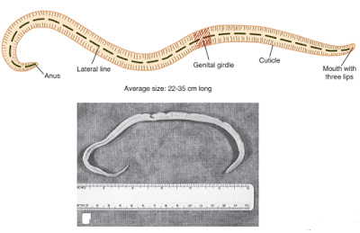 Praktikum Parasitologi Ciri-Ciri Nematoda, Ascaris Lumbricoides
