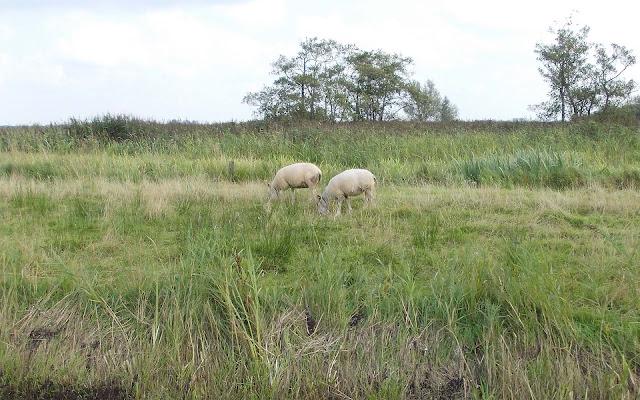 Achtergrond met twee witte schapen in het weiland