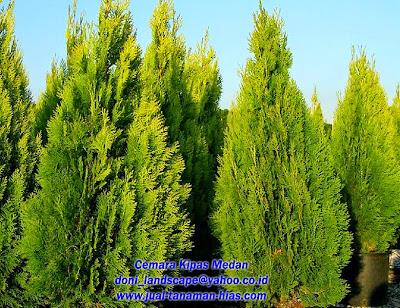 Jual Pohon Cemara Kipas | Bibit Cemara kipas