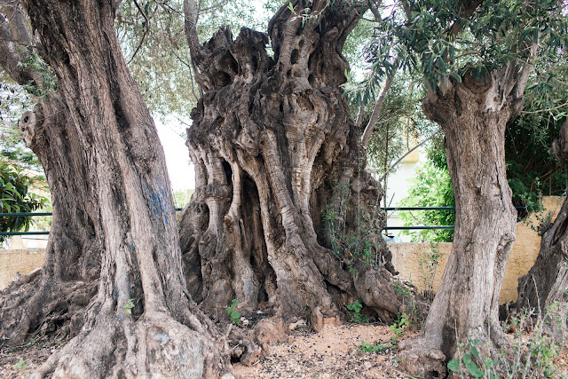 Η «Ελιά της Όρσας»: Ένα δέντρο 2500 ετών στη Σαλαμίνα