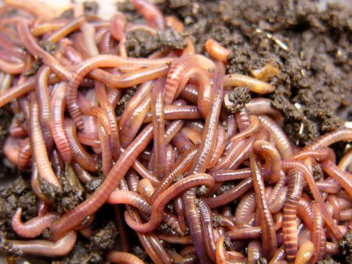 Umpan cacing tanah