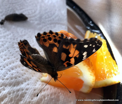 Feeding on an orange