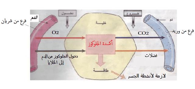 أكسدة الجلوكوز فى خلايا الجسم بفعل الأنسولين
