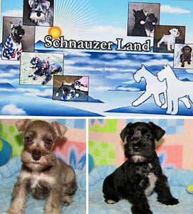 Four legged friends (and enemies): Schnauzer Land breeder