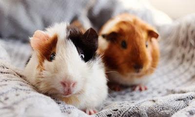 Animales domesticos Cobaya