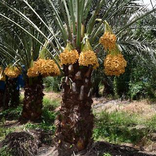 ต้นอินทผาลัมบาฮี อินทผาลัมสด พันธุ์บาฮี