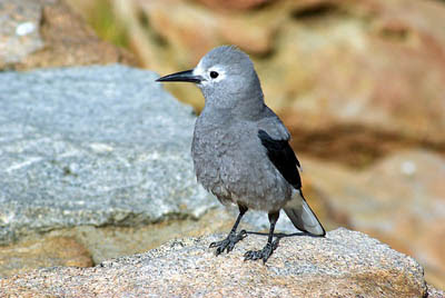 Clark's Nutcracker on wall. Mike Goad from Pixabay