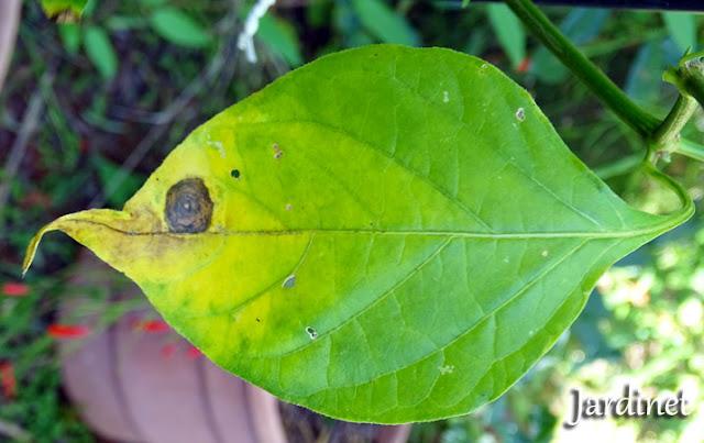 Porque as folhas da planta estão amarelando?