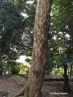 Japanese cinnamon tree (trunk) - Ueno Park, Tokyo, Japan