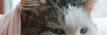 4 Penyakit Yang Sering Ditemukan Pada Hewan Peliharaan Kucing