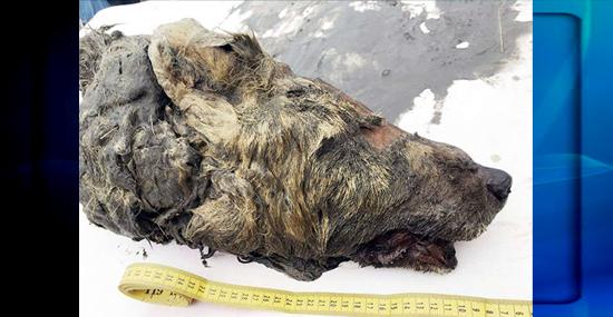 Cabeça incrivelmente preservada de Lobo da Era do Gelo é encontrada na Sibéria