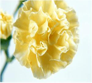 Sarı karanfilin anlamı