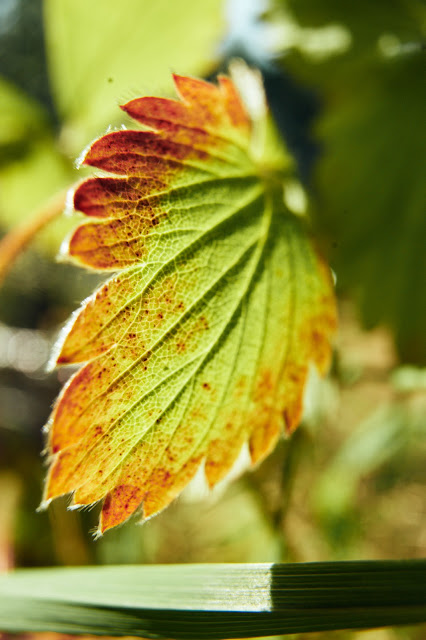 A bright photo of a red and green strawberry leaf