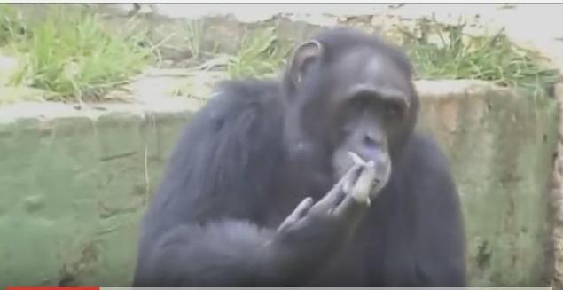 Гифы обезьяна курит