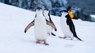 Young peguins