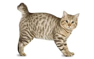 Kucing American Bobtail dan Karakteristiknya
