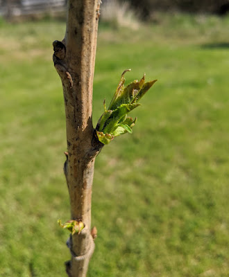 Peach tree shoots.