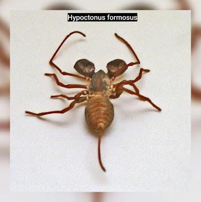 Hypoctonus formosus