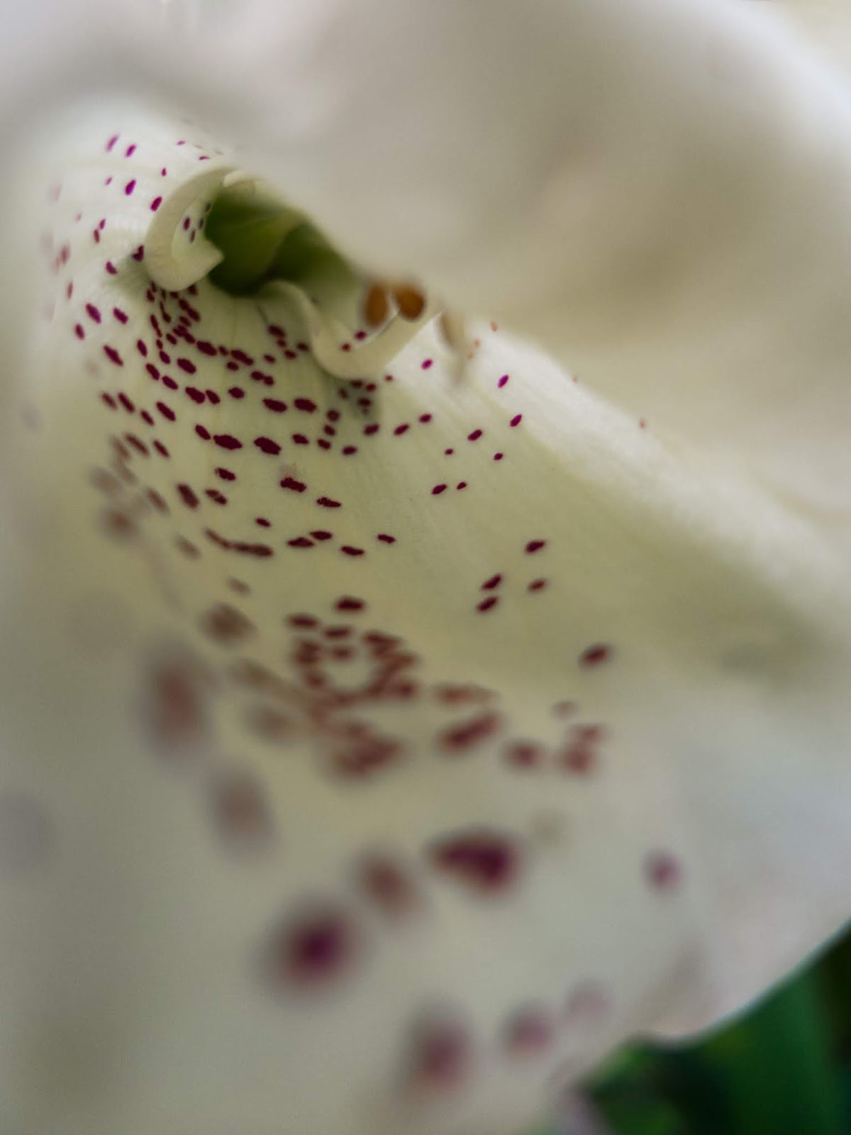 A macro of the inside of a white Foxglove flower with pink speckles on the petal.