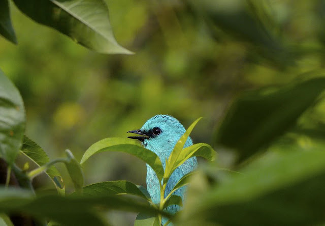 Verditer Flycatcher in Great Himalayan National Park -  UNESCO World  Heritage site in India