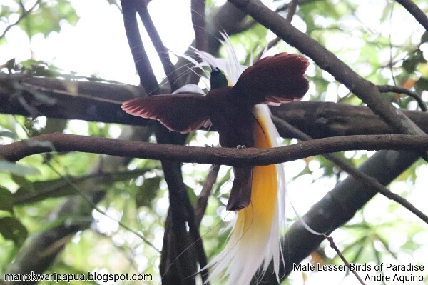 A male Lesser Birds of Paradise (Paradisaea minor)