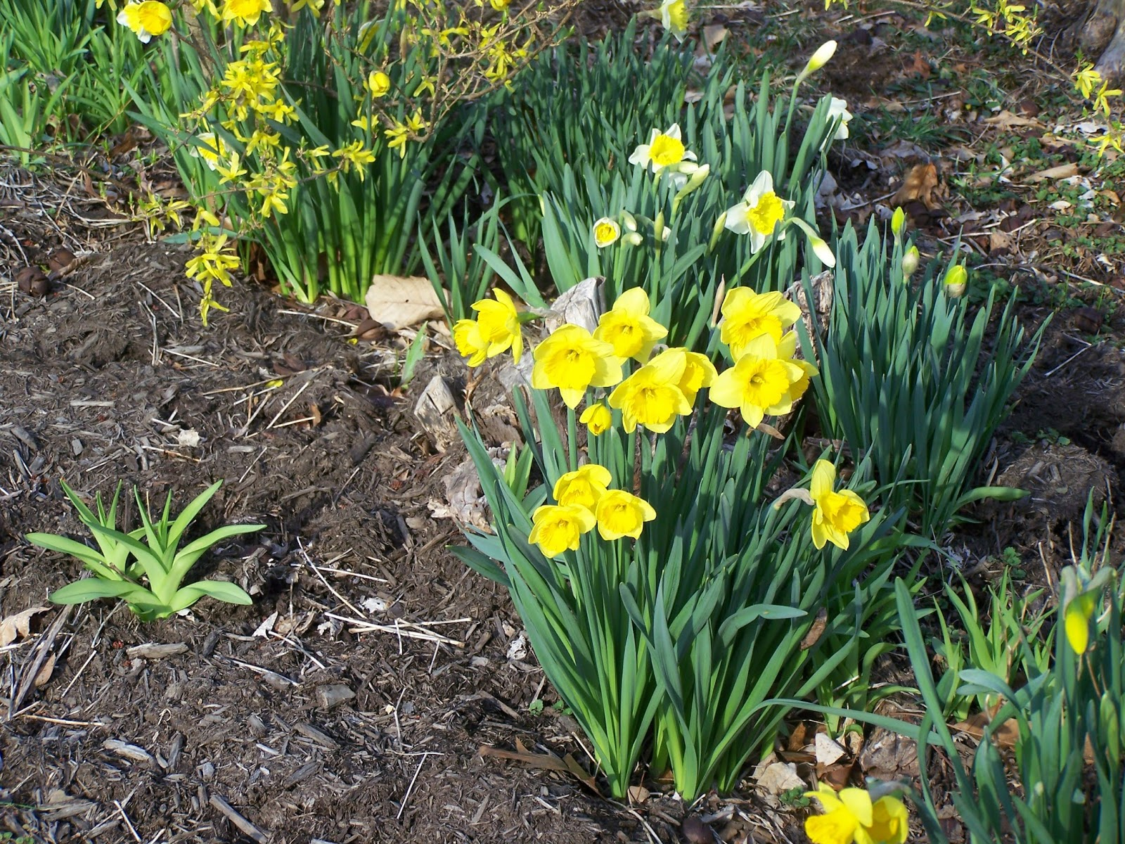 Granny sues news and reviews thinking of spring and daffodils i noticed in the gardens yesterday that the green tips of daffodils were beginning to show through the mulch last year by this time they were up so far izmirmasajfo