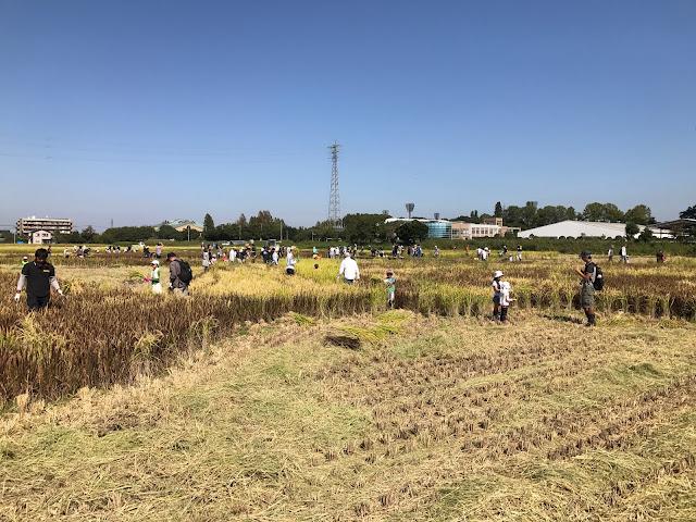 こしがや田んぼアート2017銀河鉄道999(収穫祭・稲刈り体験)