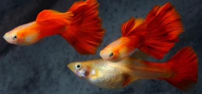 Harga Ikan Guppy Red Blonde Tahun 2016 - 2017