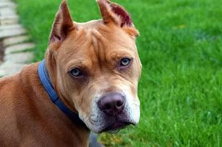 صور كلاب بيتبول امريكي شرسة