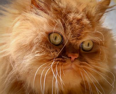 Ilustrasi hidung dan wajah kucing Persia, Kredit Pixabay.com