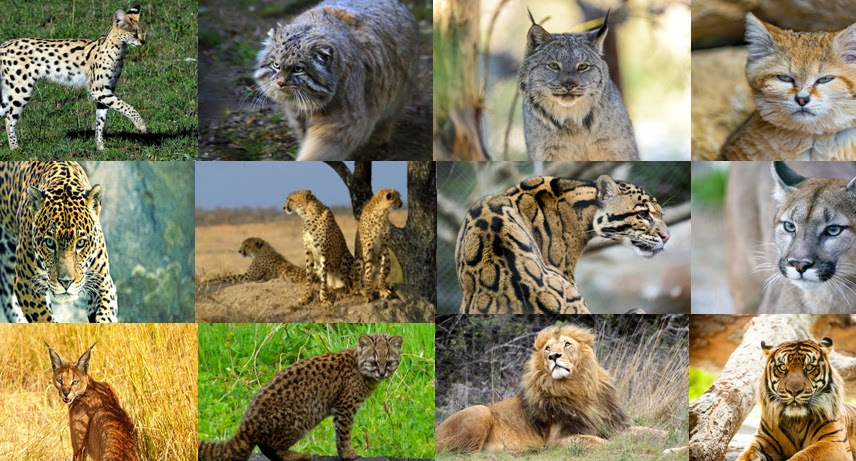 10 Large Cat Breeds: The Next Best Thing to Owning a Tiger ...  |Big Cat Species