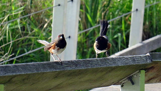 Towhees in Swan Lake Nature Sanctuary...