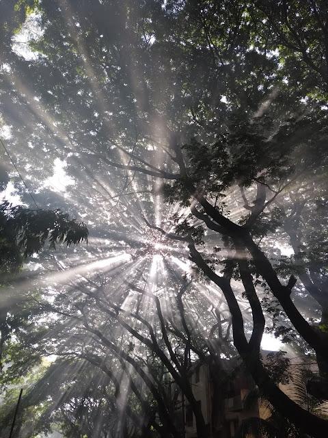 Samanea, Leafburning, Pune