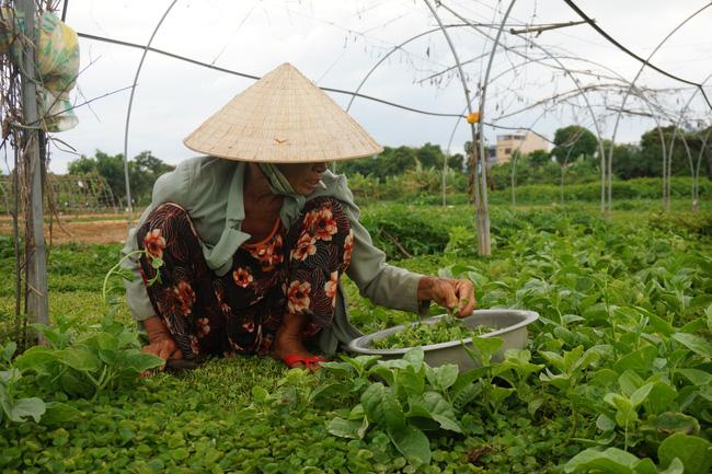 Nông dân chọn trồng các loại rau ngắn ngày, chịu hạn như: rau muống, rau dền, rau lang để cố gắng bám trụ sản xuất.