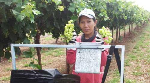 bekerja di kebun anggur australia.jpg