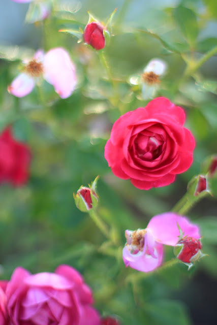 The Impressionist's Rose Garden. Photo by Mademoiselle Mermaid.