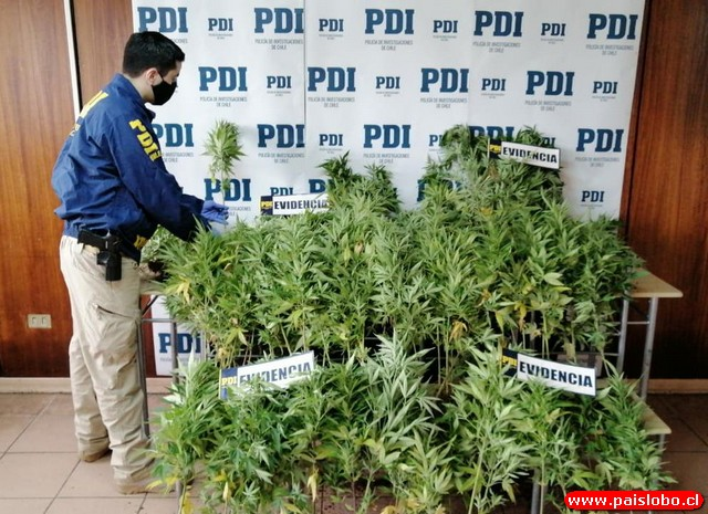 PDI incauta más de 180 plantas de cannabis en Río Negro