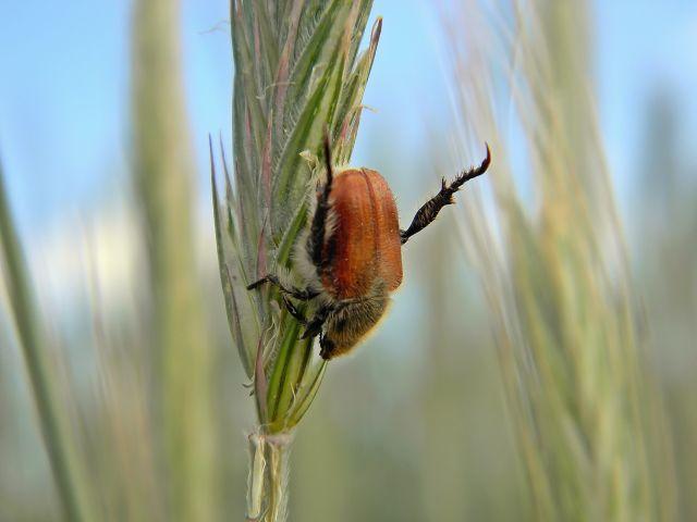 chrząszcz, ogrodnica niszczylistka, kłos, zboże