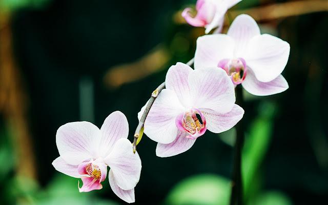 3. Bunga Anggrek
